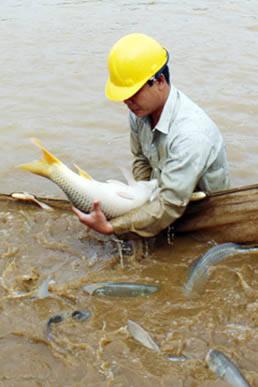 Giống cá chép lai