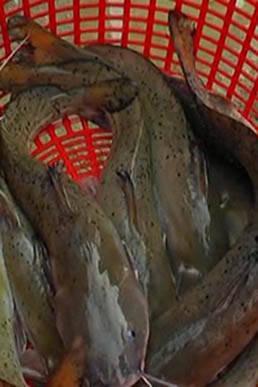 Giống cá lăng chấm