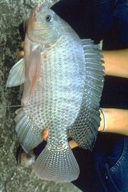 Giống cá rô phi đơn tính