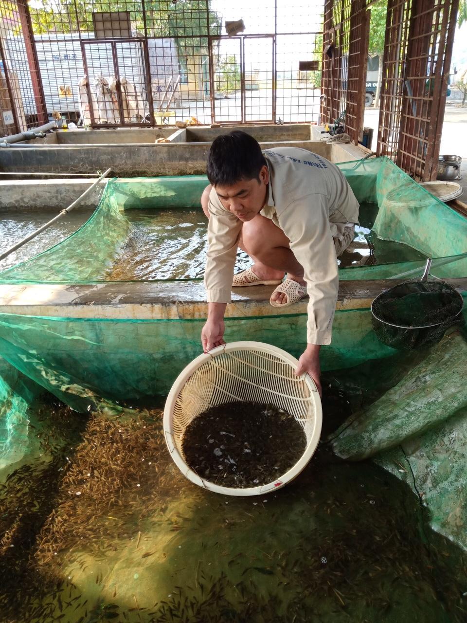 Đẩy mạnh cung ứng con giống cá Chép mang thương hiệu Lào Cai